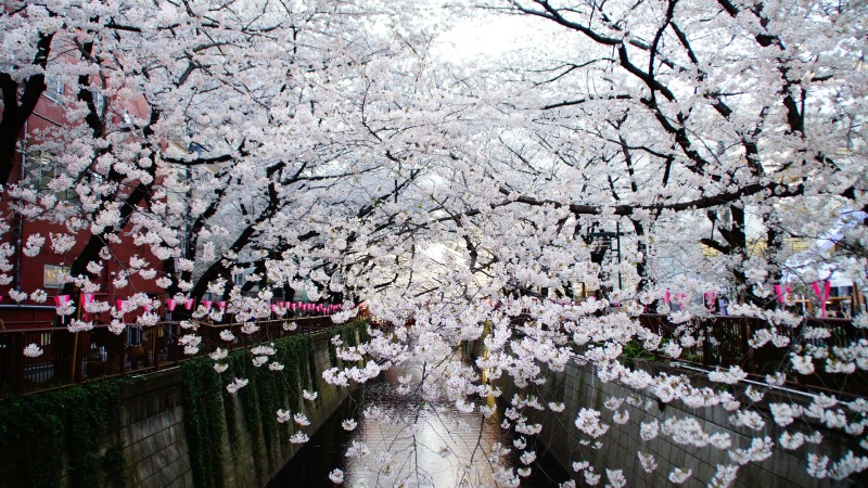 Cherry blossoms along the Meguro river Tokyo